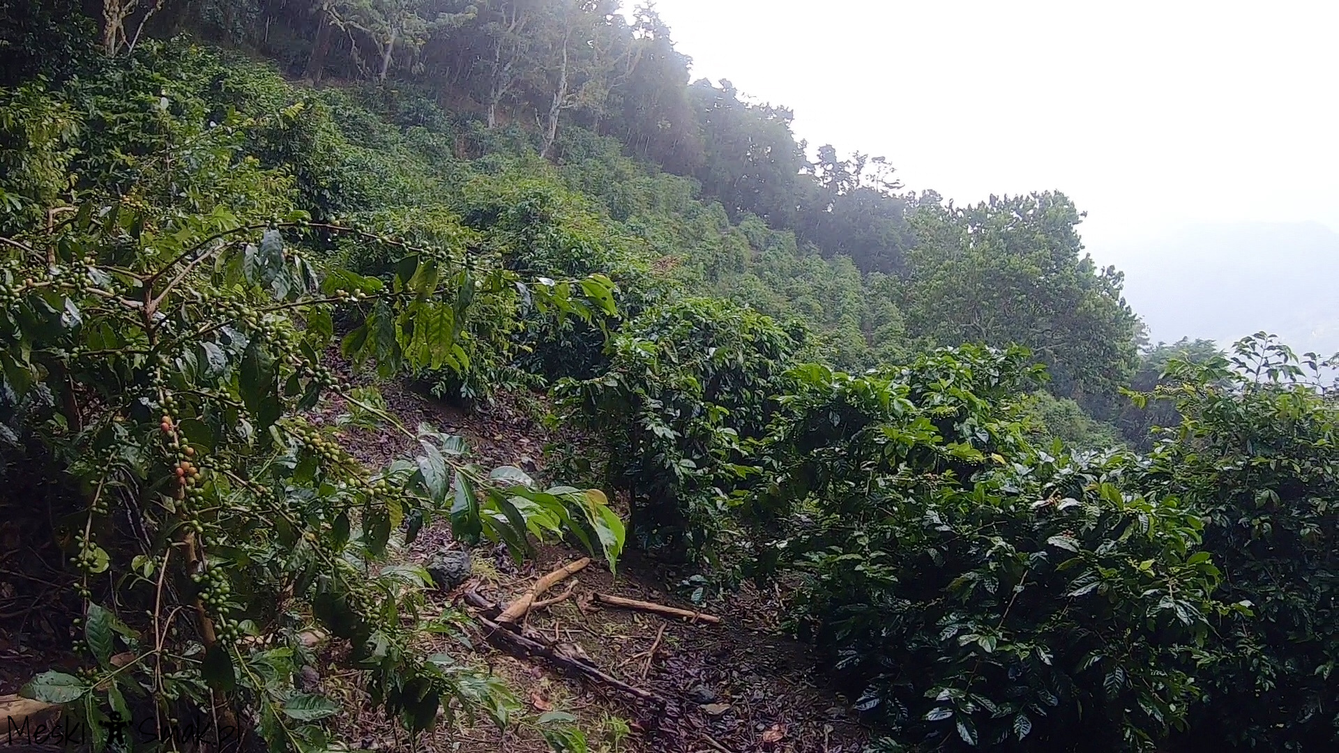 Wakacje i wycieczki Jamajka_wszystko o Góry Błękitne Blue Mountains 6