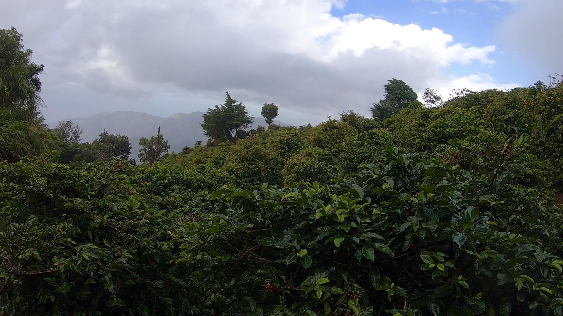 Wakacje i wycieczki Jamajka_wszystko o Góry Błękitne Blue Mountains 9