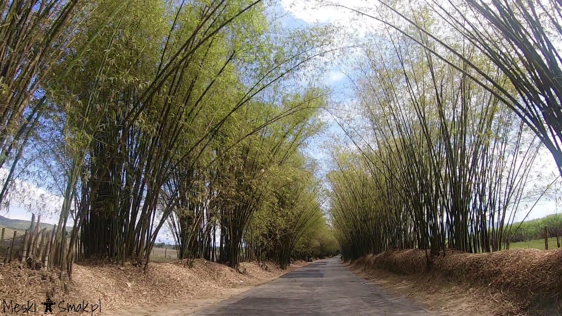 Wakacje i wycieczki Jamajka_aleja bambusowa Bamboo Avenue 3
